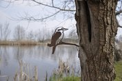 Metalbird - Kookaburra